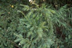 Ramo verde da árvore Foto de Stock Royalty Free