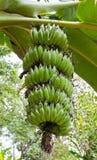 Ramo verde da banana Fotografia de Stock