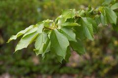 Ramo verde da cereja Imagem de Stock Royalty Free
