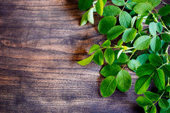 Ramo verde da chá-rosa Imagens de Stock