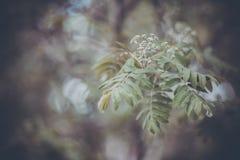 Ramo verde de Rowan em um jardim da mola Imagem de Stock