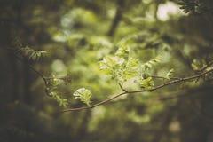 Ramo verde de Rowan em um jardim da mola Foto de Stock Royalty Free