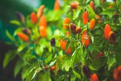 Ramo verde de Rowan na Fotografia de Stock Royalty Free