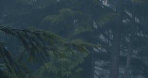 Ramo verde de uma árvore do abeto vermelho em uma floresta escura no movimento lento vídeos de arquivo