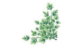 Ramo verde decorativo de hojas del perejil Fotos de archivo