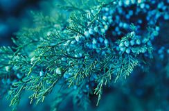 ramo verde del ginepro con le bacche fotografia stock libera da diritti