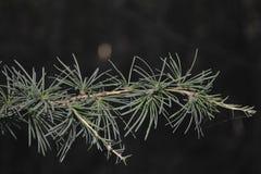 Ramo verde del primo piano dell'albero di larice Fotografie Stock
