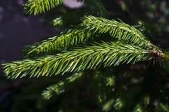 Ramo verde dell'abete rosso Immagini Stock Libere da Diritti