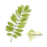 Ramo verde dell'acacia dell'acquerello con le foglie isolate Illustrazione disegnata a mano di vettore Fotografia Stock