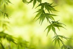 Ramo verde dell'acero Fotografia Stock