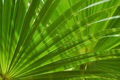 Ramo verde della palma Fotografia Stock