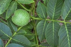 Ramo verde delle noci Fotografia Stock