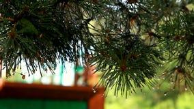 Ramo verde di un pino dopo una pioggia stock footage