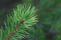 Ramo verde di un pino su un fondo di pianta immagine stock libera da diritti