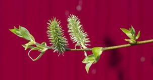 Ramo verde di un salice Immagine Stock