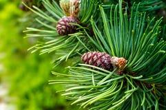 Ramo verde do abeto com cone Fundo da floresta Imagens de Stock Royalty Free