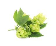 Ramo verde dos lúpulos isolados em um fundo branco Fotos de Stock