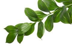 Ramo verde isolato Fotografia Stock