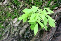 Ramo verde su un tronco di albero immagini stock