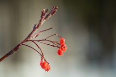 Ramo vermelho da cereja da neve com fundo borrado imagens de stock