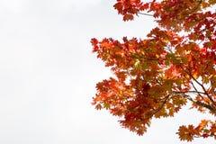 Ramo vermelho das folhas de bordo no fundo branco do céu Fotos de Stock Royalty Free