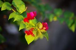 Ramo vermelho de bougainville Imagens de Stock Royalty Free