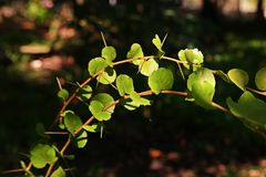 Ramontchi, prune de governor's ou feuilles indiennes de prune Photo libre de droits