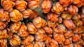 Fondo anaranjado de los ramos de los tulipanes. Imágenes de archivo libres de regalías