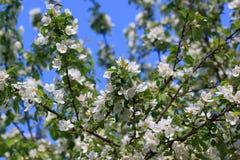 Ramos bonitos da faísca das árvores de maçã na luz solar Imagens de Stock Royalty Free