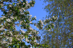 Ramos bonitos da faísca das árvores de maçã na luz solar Foto de Stock Royalty Free