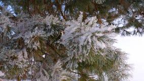 Ramos bonitos do pinho cobertos com a geada no close-up da floresta do inverno video estoque