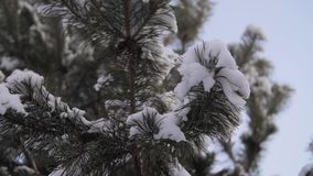 Ramos cobertos com o ramo do pinho do inverno da geada do hoar, flocos de neve do abeto em um fim do ramo acima filme