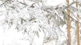 Ramos cobertos de neve do abeto que balança no vento, fundo borrado vídeos de arquivo