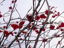 Ramos cobertos de neve do ` s da Rowan-árvore com ashberries Imagem de Stock