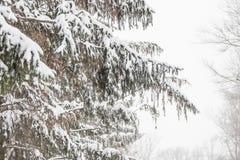 Ramos cobertos de neve de uma árvore de abeto, fundo nevado Imagem de Stock