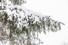 Ramos cobertos de neve de uma árvore de abeto, fundo nevado Imagens de Stock Royalty Free