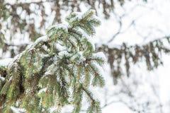 Ramos cobertos de neve de uma árvore de abeto, fundo nevado Foto de Stock