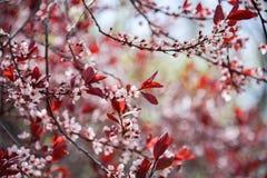 Ramos cobertos nas flores de cerejeira brancas delicadas com as folhas vermelhas na mola adiantada imagens de stock royalty free