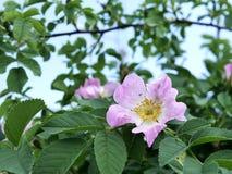Ramos com as flores cor-de-rosa contra o céu azul, estação da mola fotos de stock royalty free