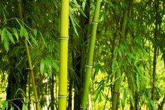 Ramos com as folhas dos bastões de bambu Fotos de Stock Royalty Free