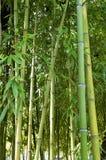 Ramos com as folhas dos bastões de bambu Fotografia de Stock Royalty Free