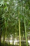Ramos com as folhas dos bastões de bambu Fotos de Stock
