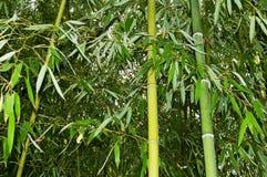 Ramos com as folhas dos bastões de bambu Foto de Stock