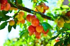 Ramos com fruto vermelho amarelo não maduro da ameixa de cereja no jardim Fotos de Stock
