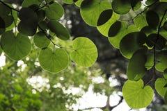 Ramos completamente das folhas redondas verdes e translúcidas Fotografia de Stock