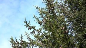 Ramos da árvore de abeto constante com os cones contra o céu vídeos de arquivo