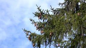Ramos da árvore de abeto constante verde com lote dos cones filme