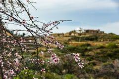 Ramos da árvore de amêndoa, crescendo selvagens em Tenerife, coberto em flores cor-de-rosa Feche acima do foco seletivo Mola adia foto de stock