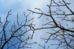 Ramos da árvore do Plumeria no inverno com céu azul Fotografia de Stock