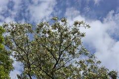 Ramos da acácia de florescência Foto de Stock Royalty Free